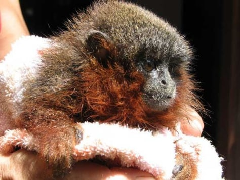 Image: Newly discovered species of titi monkey
