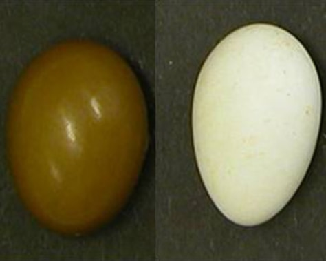 Image: UV hues in eggshells