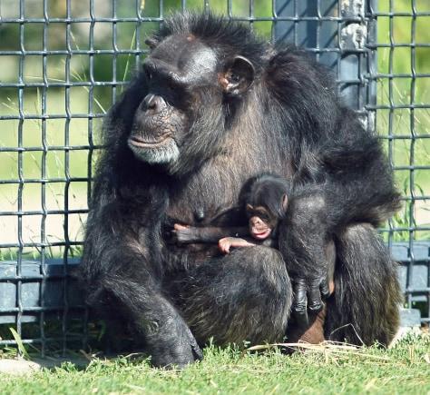 Image: Suzie, a 56-year-old chimpanzee, holds her newborn.