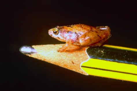 Image: The new species of a mini frog