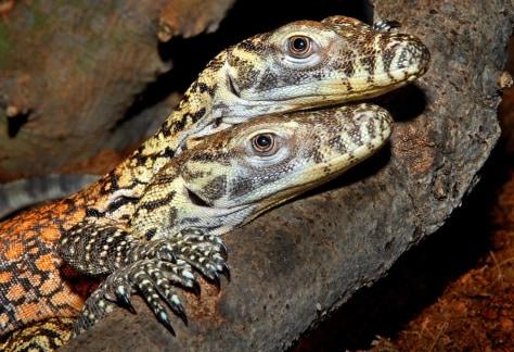 Image:Komodo Dragons