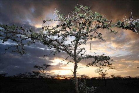 Image: Acacia drepanolobium tree