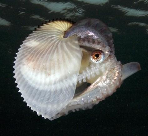 Image: Argonaut octopus