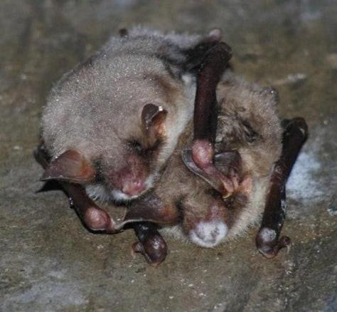 Image: European bats