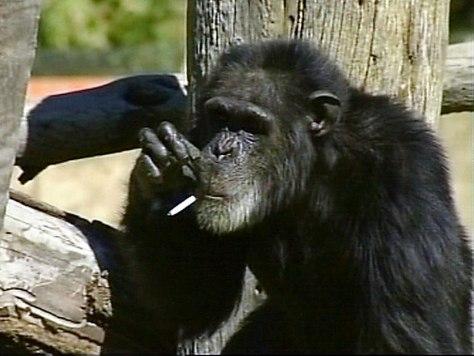 Image: Charlie the chimpanzee