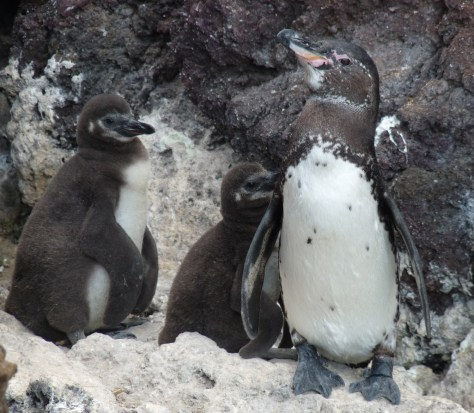 Image: Penguin and her two chicks