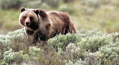 Image: Grizzly bear