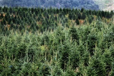 Image: North Carolina Fraser fir farm