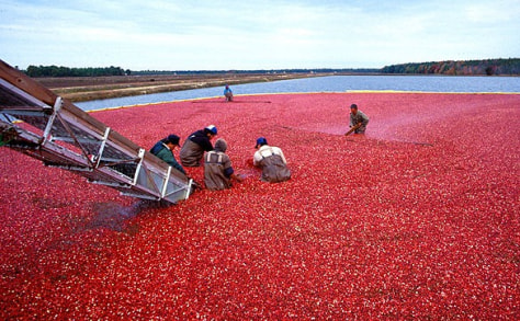 Image: Cranberry harvest