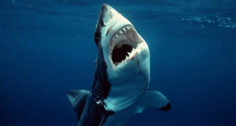 Image: Great white shark