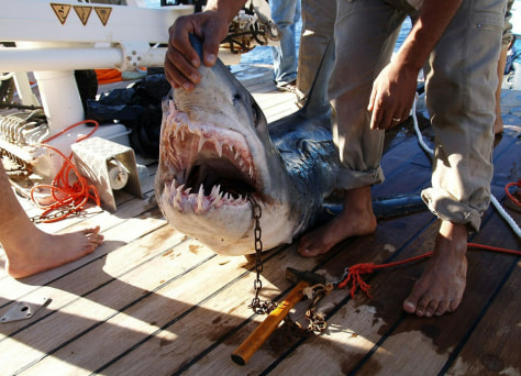 Image: The shark believed to be behind an attack on some tourists in the Red Sea resort of Sharm el-Sheikh.