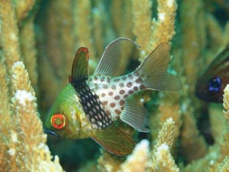 Image: Pajama cardinal fish
