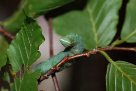 Image: Walnut sphinx caterpillar