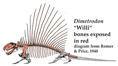 Image: Illustration of a dimetrodon skeleton