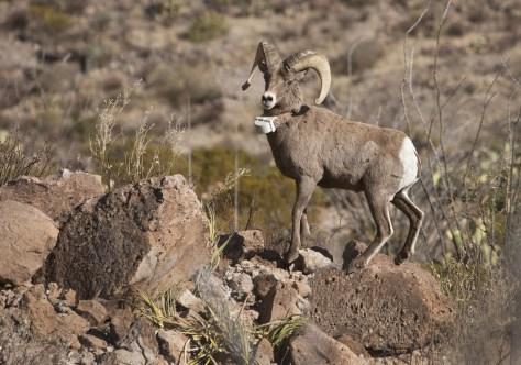 Image: Desert bighorn ram