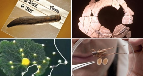 Image: Stone Age sex toy; Beer and civilization; Slime-mold transit; Cricket testicles