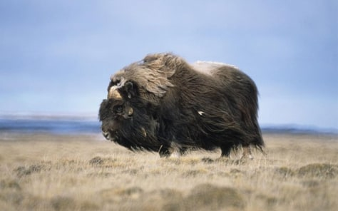 Study Points To Possibility Of >> Humans Off The Hook For Musk Ox Extinction Technology Science