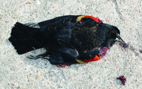Image: A dead blackbird on the ground in Beebe, Arkansas,