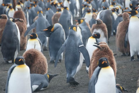 Image: King penguins