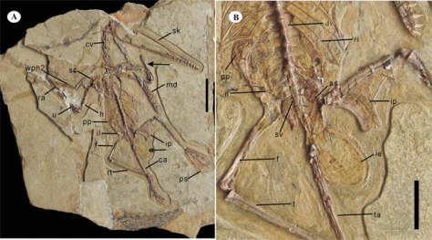 Image: Female pterosaur fossil and egg