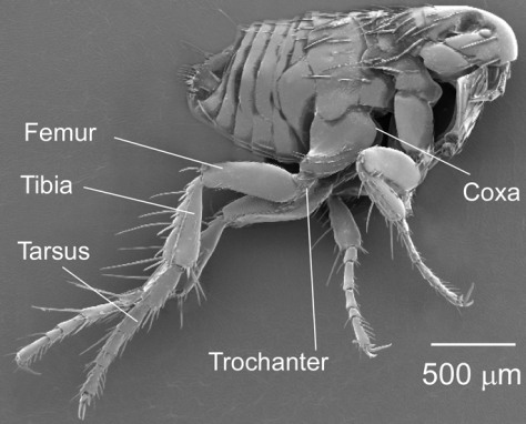 Image: Flea anatomy