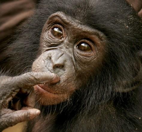 Image: Bonobo