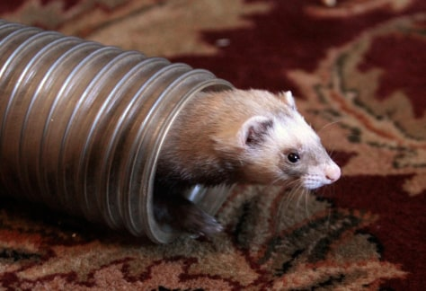 Image: Bugs, one of several ferrets owned by Jeremy Trimm, emerges from a play