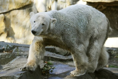 Image: Knut