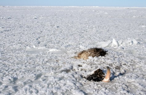 Image: the carcass of a musk ox frozen in ice at Bering Land Bridge National Preserve, Alaska