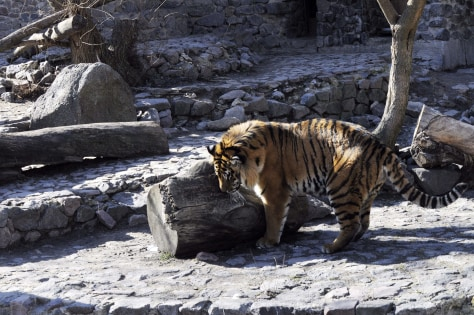 Image: Siberian tiger in Kiev Zoo