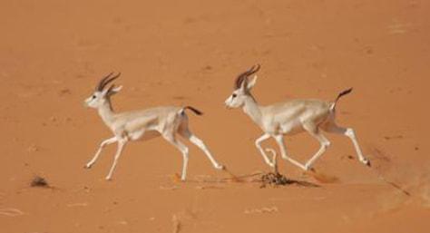 Image: Gazelles