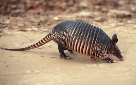 The image shows an Armadillo which can take the shape of a ball when threatened