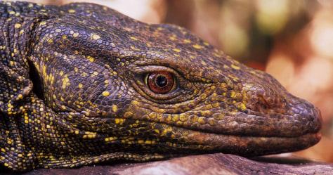 Image: Monitor lizard