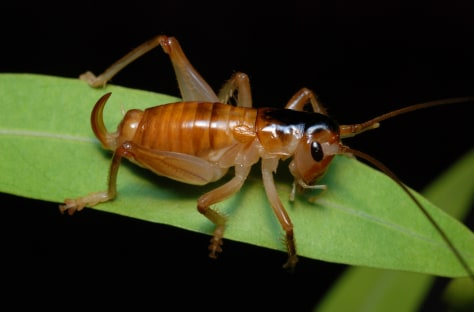 Image: Pollinating cricket
