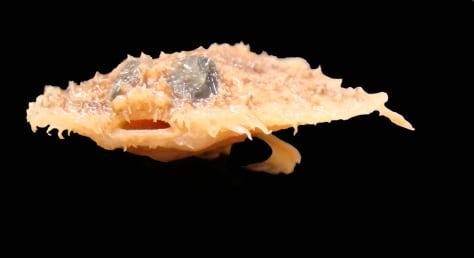 Image: Pancake batfish