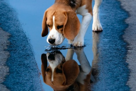 Photo: A beagle drinks water from a puddle.