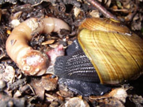 Image: Fist-sized hermaphrodite snails are on the rise in New Zealand, according to a recent wildlife conservation survey.