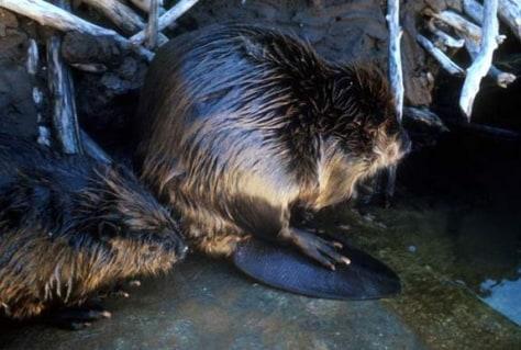 Image: Beavers