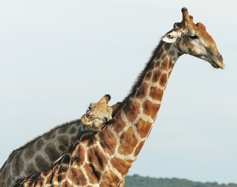 Image: Two giraffes