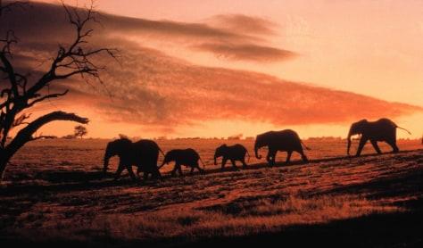 Image: African elephants