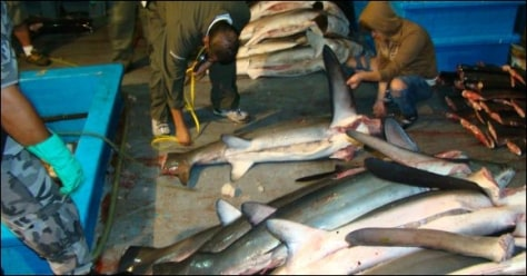 Image: Dead sharks from fishing vessel