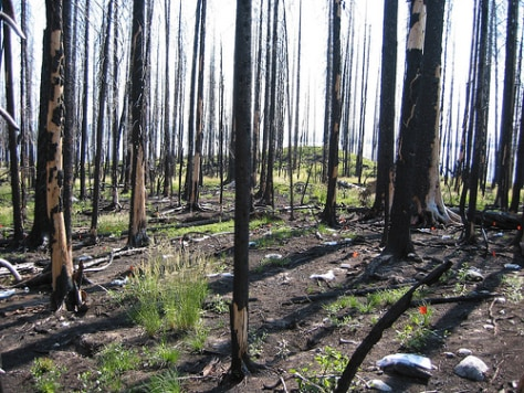 Image: Burned trees in Yellowstone