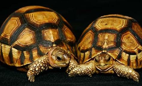 Image: Ploughshare tortoises
