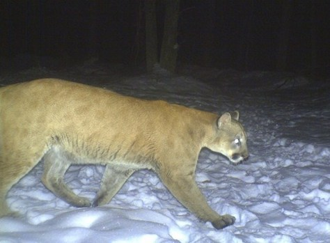 Image: Cougar