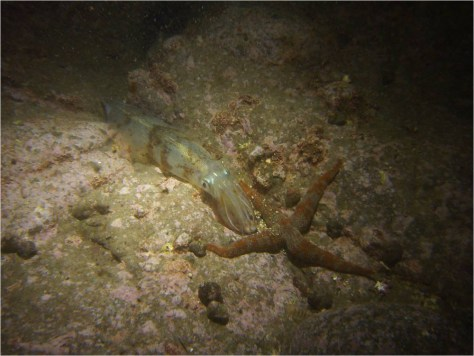 Image: Squid species at spawning ground