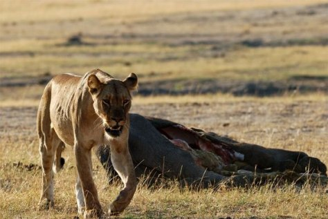 Image: Lioness leaving an elephant carcass
