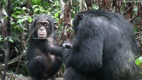 Image: Facial recognition of chimps