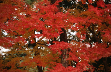 Image: Autumn trees at Kyoto Imperial Palace
