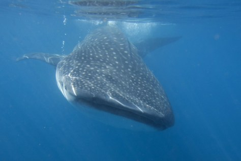 Image: A whale shark swims in the Caribbean Sea in Isla Mujeres
