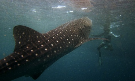 Image: A snorkeler swims with a  six meter whale shark just outside Hanifaru Bay of Maldives' remote Baa Atoll